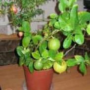 Кімнатні рослини