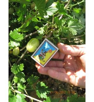агрус Інвікта, ягода