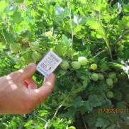 агрус Мукурінес
