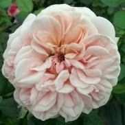 Троянда Афродіта