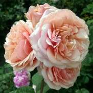 Троянда витка Барок