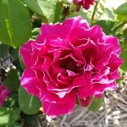 троянда старовинна Baron Girod de L'Ain