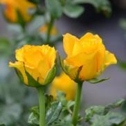 Троянда Керіо