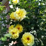 троянда Lichtkonigin Lucia