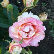 троянда Rose des Cisterciens