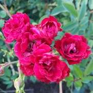троянда витка  Red Cascade